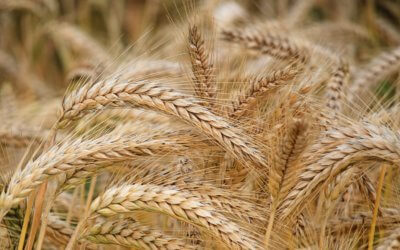 3 Ways Wheat Can Hijack Your Weight